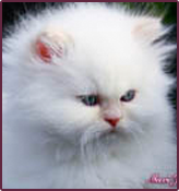 white blue eyes persian kittens