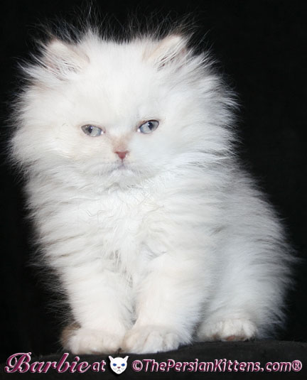 picture of persian kittens