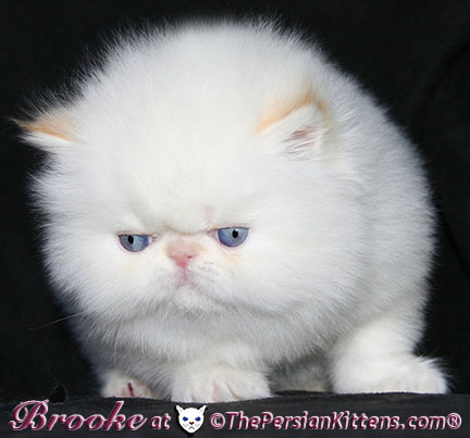 flame point persian himalayan kittens
