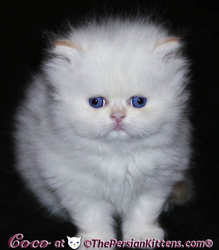 fluffy persian kitten