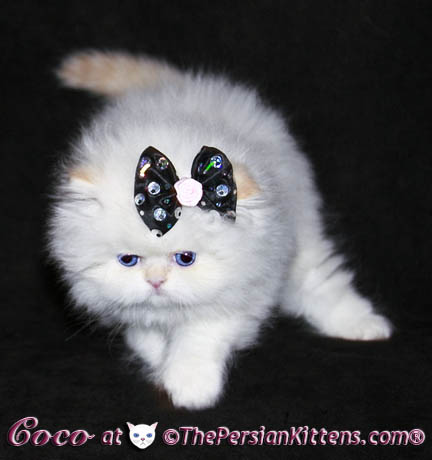 persian kitten~Hello Kitty
