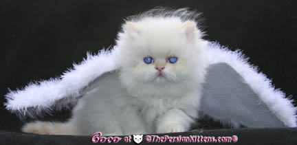persian kitten in angel wings