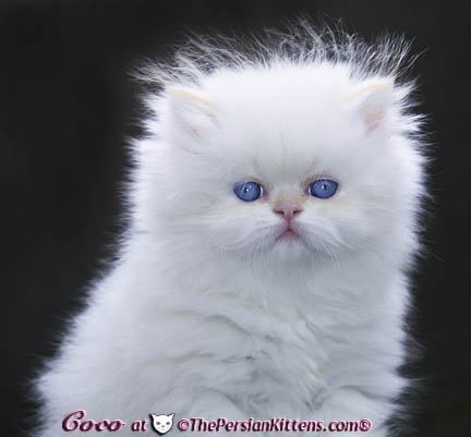 white blue eye persian kitten