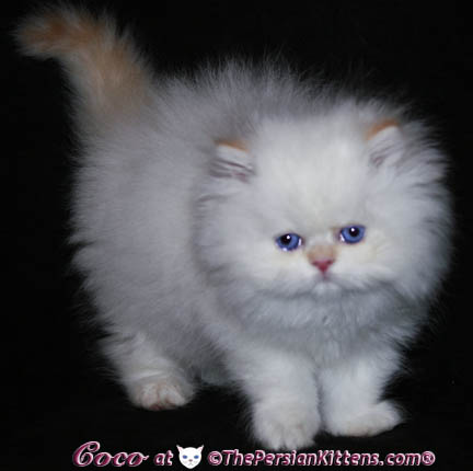 pretty persian kitten
