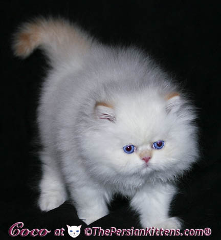 persian kitten playing