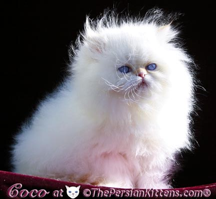 beautiful persian kitten Coco