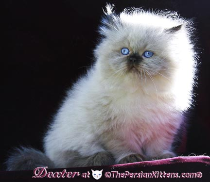 picture of persian kitten