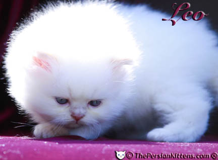 cream point persian kitten pictures