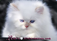 cream point persian himalayan