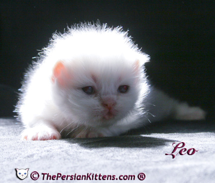 persian kitten pictures