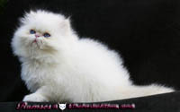 cream point persian himalayan kittens
