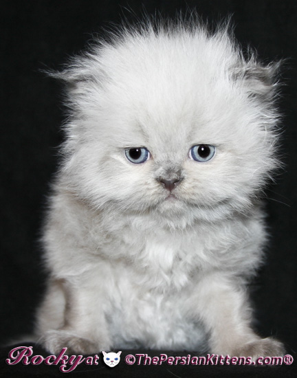 lilac point persian himalayan kittens