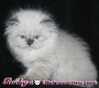 cream point persian kitten