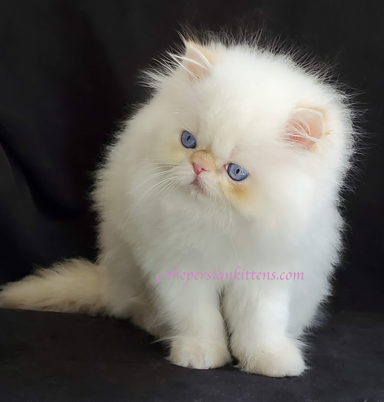 persian kittens image